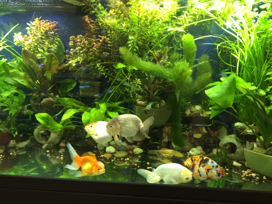 Watch How to Set up a Healthy Goldfish Aquarium video