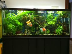 planted 100 gallon goldfish aquarium, LED Lighting