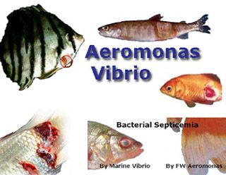 Aquarium, Pond Aeromonas, Septicemia symptoms