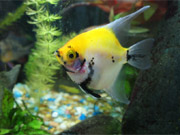 My Gold marble Angelfish