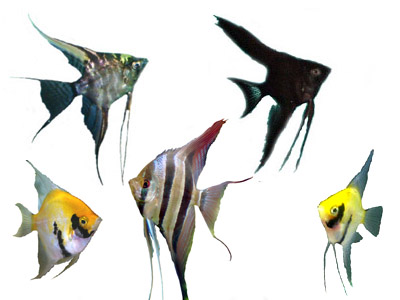 Angelfish, gold, marble, black, silver