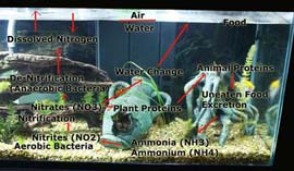 Aquarium Nitrogen Cycle Diagram, pond, ammonia, nitrites, nitrates, fishless cycling