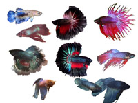 Bettas, Veiltail VT, Plakat, Crowntail CT, Halfmoon HM