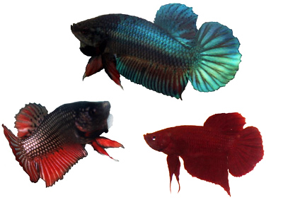 Plakat Bettas, PK