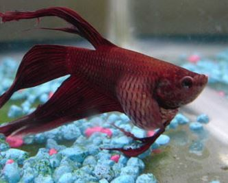 Betta with Bloat, poor osmoregulation