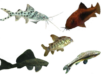 Freshwater Catfish Aquarium Fish Profiles, information