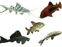 Plecostomus, Oto, Cory, Pictus Catfish