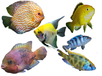 Cichlids of the World, Angelfish, Discus, African, American