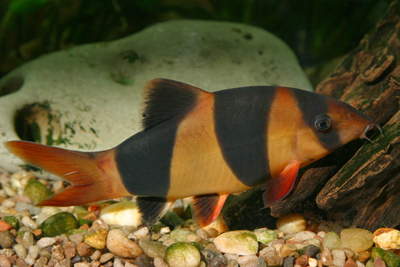 Freshwater loach loaches botia clown angelicus for How to treat ich in fish