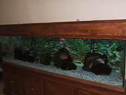 200 gallon African Cichlid Aquarium at Coaster Co