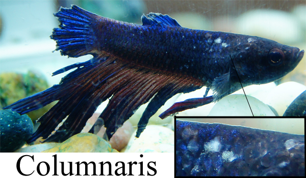 fish columnaris fungus saprolegnia treatment prevention