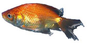 Treatment of Columnaris Necrosis of the fins in a goldfish