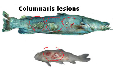Columnaris, Flexibacteria lesions, prevention
