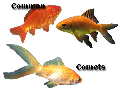 Common, and Comet, fantail goldfish
