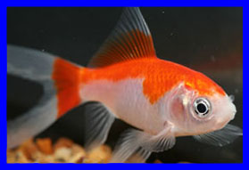 Comet, red, white goldfish