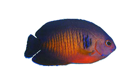 Coral Beauty Angel, saltwater angelfish
