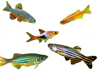 Rasboras, Danios, Celstial Pearl, Aquarium Fish Profiles, information