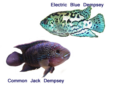 Cichlids from south central north america vieja snook for Jack dempsey fish