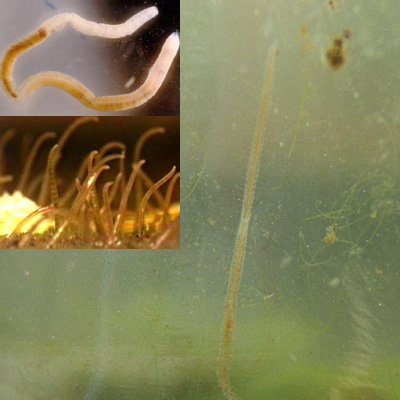Detritus worms planaria oligochaetes naidid tubiflex for Worms in freshwater fish