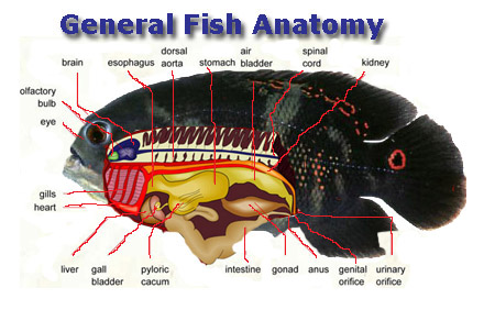 Aquarium Answers, Fish anatomy, fin identification