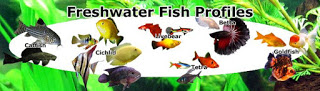 Freshwater Aquarium Fish Profiles, information, aquarist notes