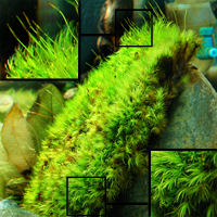 Pillow moss to maintain Amazon River biotope aquarium chemistry