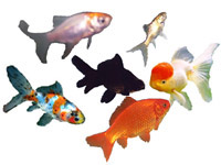 Gold fish, common, fantail, Comet, Ryukin, Oranda, Shubunkin