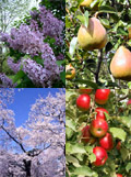 Apple, Lilac, Flowering Cherry, Pear Trees