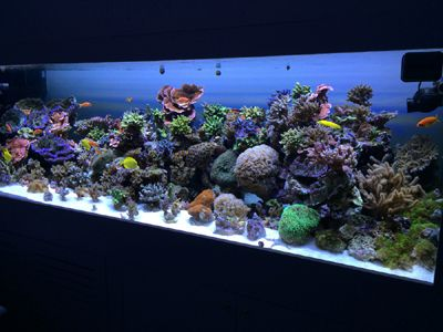 Acropora Reef tank with AquaRay LED Aquarium Lighting