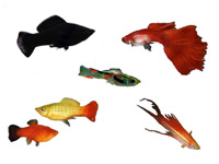Livebearers, Guppies, Molly, Swordtail, Platy, Endler Livebearer