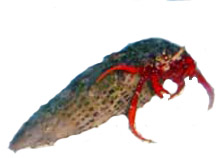 Mexican Dwarf Hermit red leg Crabs for Cyanobacteria control