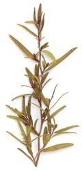 Melaleuca tea leaves