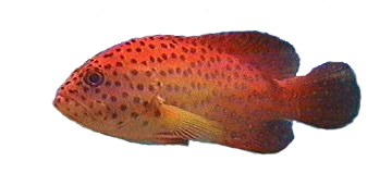 Miniatus, Coral, Red Grouper