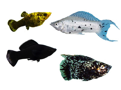 Molly, gold dust, marble, sailfin, lyretail, dalmation