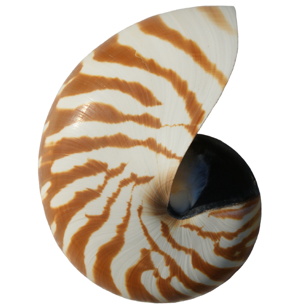 Natural And Pearl Nautilus Shell Cephalopod Nautilidae