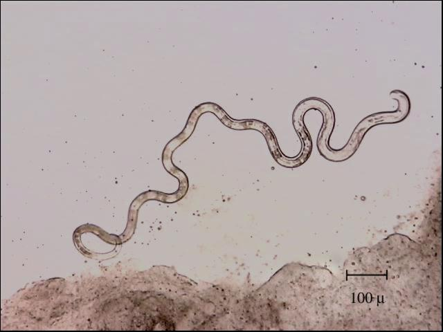aquarium fish parasites worms planaria nematodes