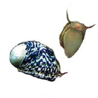 Nerite Snails for planted freshwater aquariums