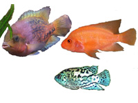 North and Central American Cichlids