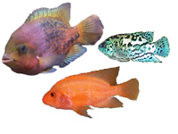 North, Central American Cichlids