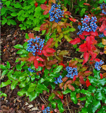 Oregon grape root plant