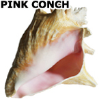 PINK CONCH SEASHELL, 7-9�  $18.99, A popular shell for home decor