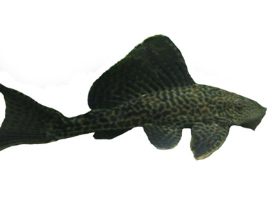 Common Plecostomus