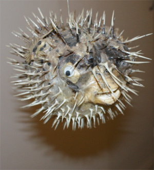 Porcupine Puffer Fish, Authentic Decoration
