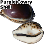 PURPLE TOP TIGER COWERIE (cowry) SEASHELLS-3.5