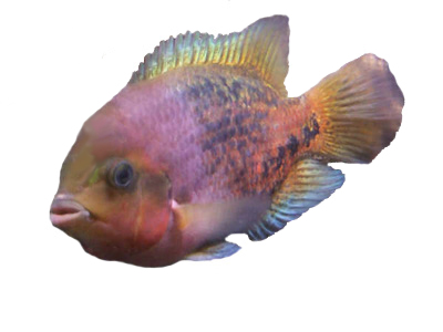 vieja synspila, common names are Redhead cichlid, Quetzal cichlid, and pastel cichlid