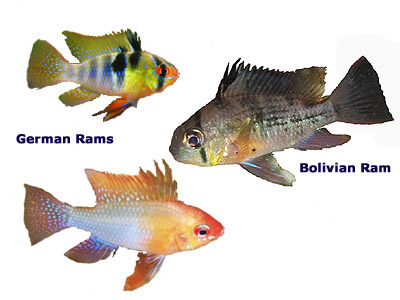 Ram Cichlids, German, Ruby Crown, Bolivian, Gold