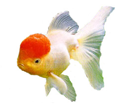 Red Cap Oranda, goldfish care