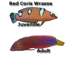 Red Coris Wrasse, Juvenile, Adult
