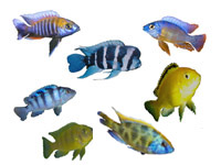 Rift Lake Cichlids, East Africa