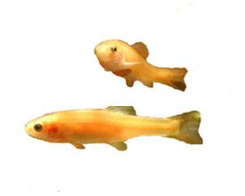 Rosy Red Fathead Minnows